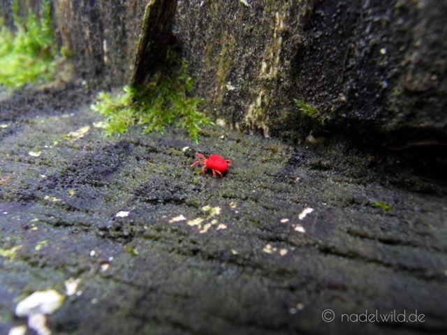 Rotes Insekt